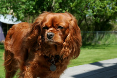 boykin spaniel(0.0), welsh springer spaniel(0.0), field spaniel(0.0), setter(0.0), cavapoo(0.0), american cocker spaniel(0.0), dog breed(1.0), animal(1.0), dog(1.0), pet(1.0), king charles spaniel(1.0), english cocker spaniel(1.0), cavalier king charles spaniel(1.0), carnivoran(1.0),