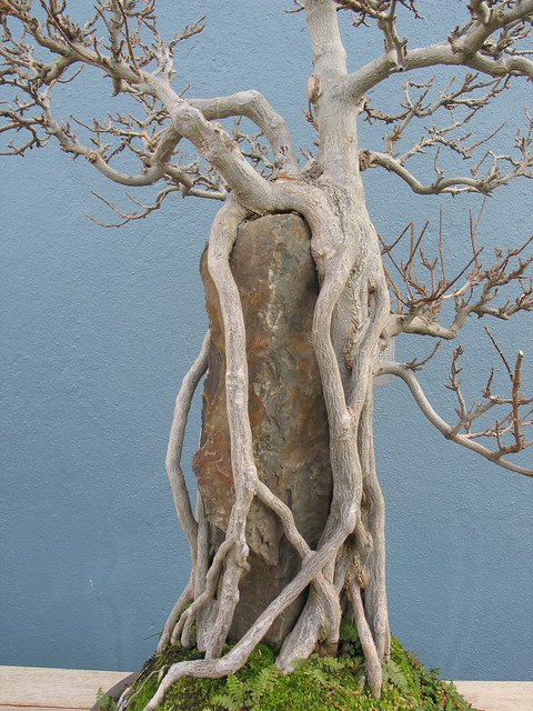 Acer buergerianum in root over rock style. Photo by Julian Velasco.