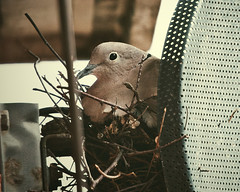 Collared Dove Nest 1 by CaraFreckles