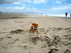 flying zuko the shiba, running on the beach
