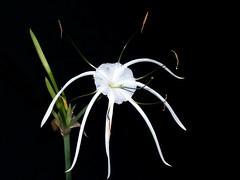 White Spider Flower On Black Background I Honestly Did Not Flickr