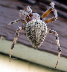 Barn Spider-from behind