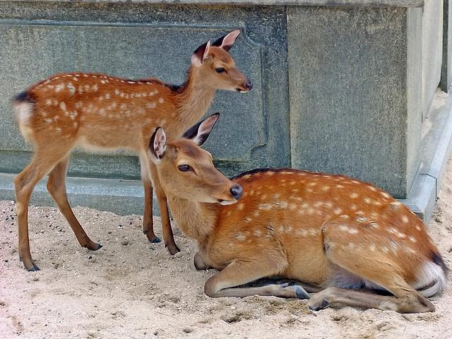 Deers of Itsukushima