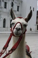 animal, halter, llama, head, pack animal, camel-like mammal,