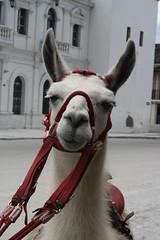 donkey(0.0), animal(1.0), halter(1.0), llama(1.0), head(1.0), pack animal(1.0), camel-like mammal(1.0),