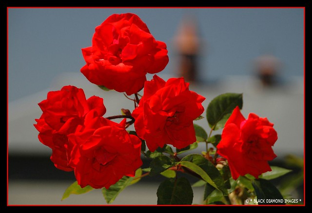 Rosa hybrid - Red Roses