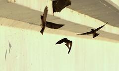 Bridge Swallows