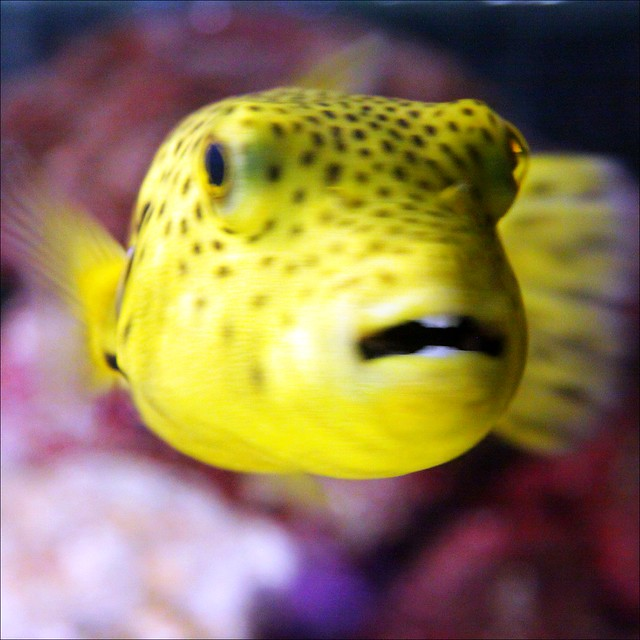 Yellow dog face puffer flickr photo sharing for Dog face puffer fish