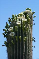 flower, plant, flora, cactus family,