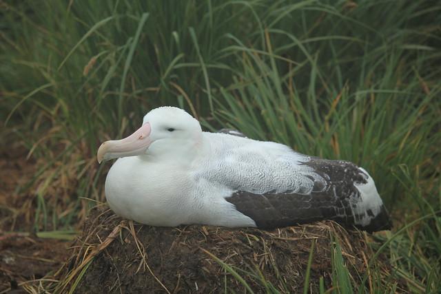 5746595969 5aee86da98 z jpgWandering Albatross Nest