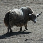 Yak Sighting - Osh to Sary Tash, Kyrgyzstan