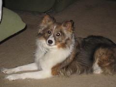puppy(0.0), miniature australian shepherd(0.0), rough collie(0.0), collie(0.0), dog breed(1.0), animal(1.0), german spitz klein(1.0), dog(1.0), pet(1.0), german spitz(1.0), german spitz mittel(1.0), papillon(1.0), carnivoran(1.0), shetland sheepdog(1.0), icelandic sheepdog(1.0),