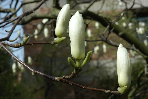 Large perfect white and green magnolia tree flower buds, early spring, clear sunny day, near Mary Gates Hall,  University of Washington Campus, Seattle, Washington, USA by Wonderlane