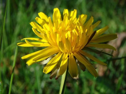 flower green grass yellow yard weed dandelion