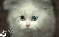 animal, persian, small to medium-sized cats, pet, cat, carnivoran, whiskers, himalayan,