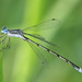 Spreadwings - Photo (c) Anthony Zukoff, some rights reserved (CC BY-NC-SA)