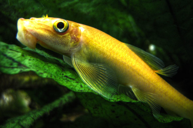 Chinese algae eater flickr photo sharing for Algae eating fish
