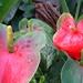 Anthurium group