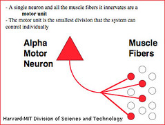 Muscle motor units neurons from bottom up