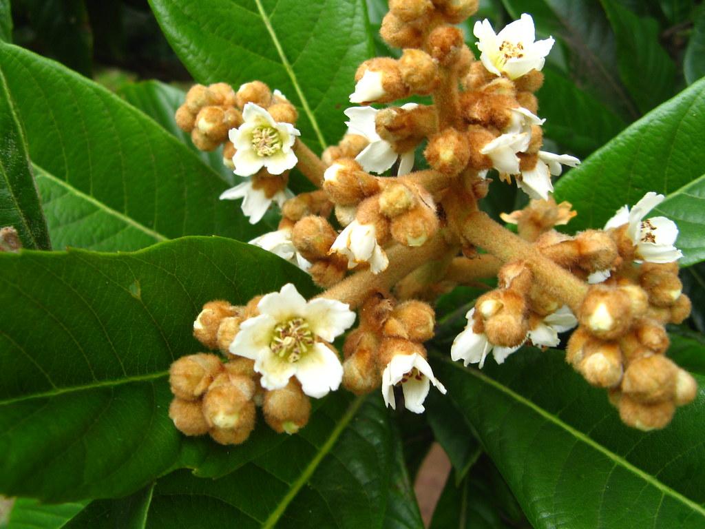 Ameixa  / Nêspera (Eriobotrya japonica). Ceret Park Sao Paulo Brazil. China native tree