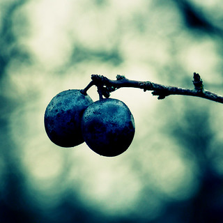 Winter sloes