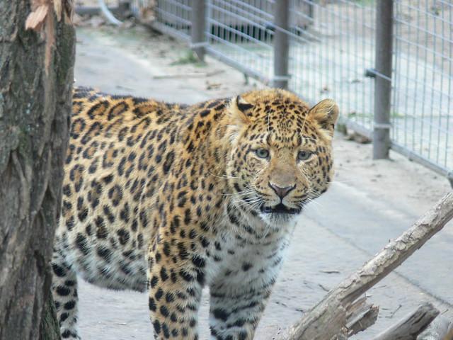 Kínai leopárd / China leopard
