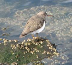 Spotted Sandpiper (Richmond Harbor)