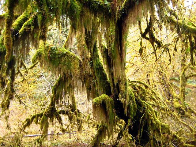 La Selva de Hoh, Parque Nacional Olympic, Washington, Estados Unidos