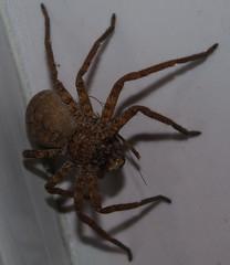 european garden spider(0.0), wolf spider(0.0), arthropod(1.0), animal(1.0), spider(1.0), invertebrate(1.0), macro photography(1.0), fauna(1.0), close-up(1.0), tarantula(1.0),