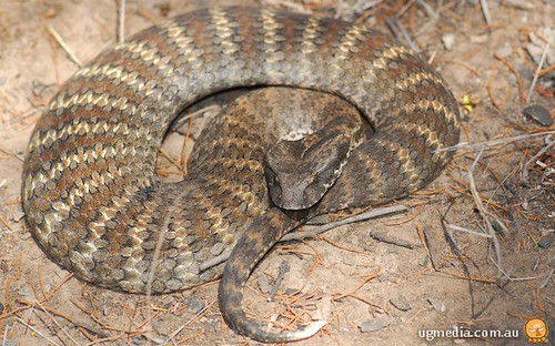 Snakes With Triangle Shaped Heads http://campingplatz-zur-rose.de/_notes/common-death-adder