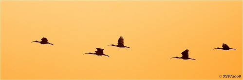 nature beauty twilight birding flight ibis canon40d canon400f56l