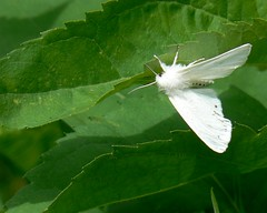 animal, moth, moths and butterflies, butterfly, leaf, plant, invertebrate, fauna, bombycidae,