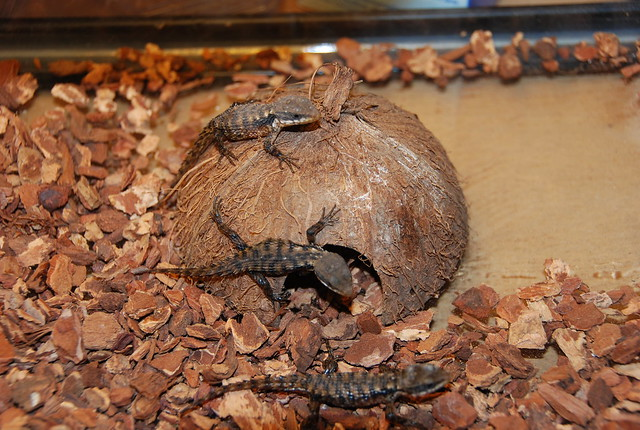 Baby Armadillo Lizards | Flickr - Photo Sharing!