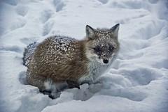Niseko Fox