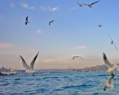 gulls crossing the Bosphorus