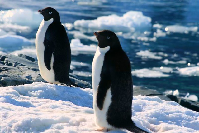 Adelie Penguins on the Fish Islands13