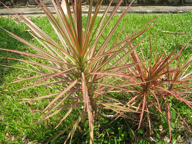 Madagascar Dragon Tree,Red Edged Dracaena | Flickr - Photo ...