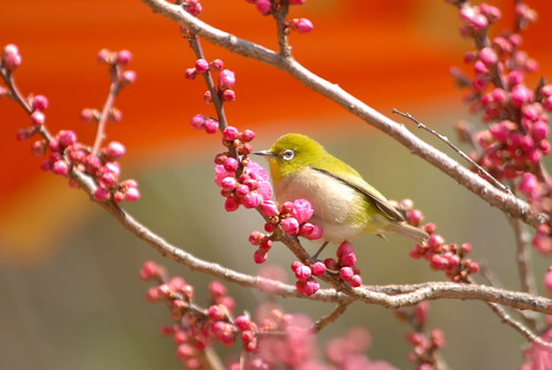 White-eye at Kitano shrine