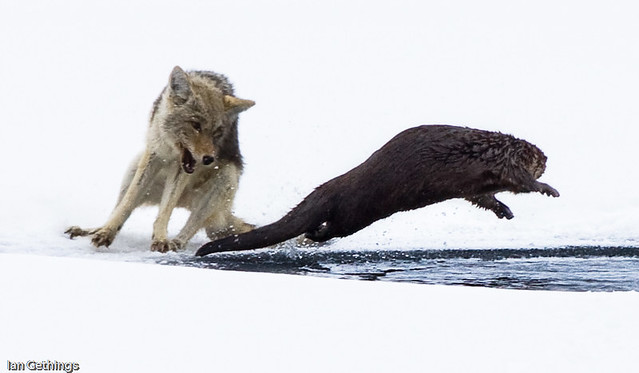 Yellowstone Otter and Coyote