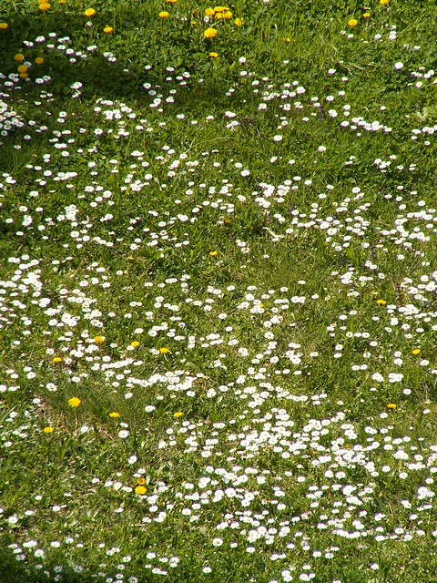 weiß blühenden mit wilder Möhre übersäte Wiese ohne Regenbogenfarbe