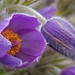 Pasqueflower - Photo (c) Randi Hausken, some rights reserved (CC BY-NC)