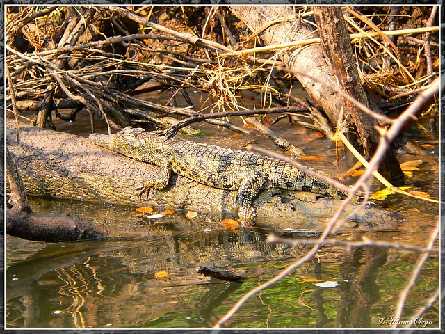 Crocodile - Zambezi River | Flickr - Photo Sharing!