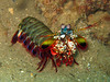 "Mantis Shrimps - Photo (c) Raymondâ""¢, some rights reserved (CC BY-NC-ND)"