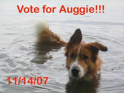Vote For Me auggie dog