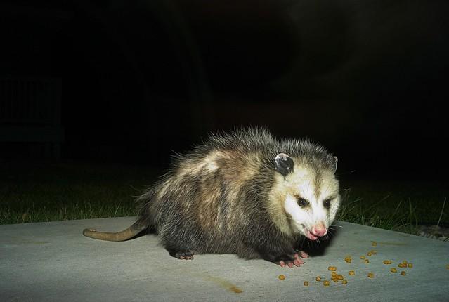 Opossum, November 2007