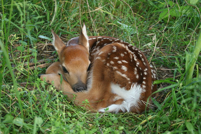 Fawn White Tailed Deer Flickr Photo Sharing