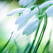 snowdrops and dewdrops by another planet : )