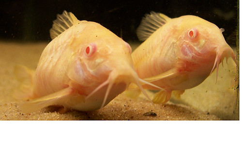 Albino bottom feeders flickr photo sharing for Bottom feeders fish