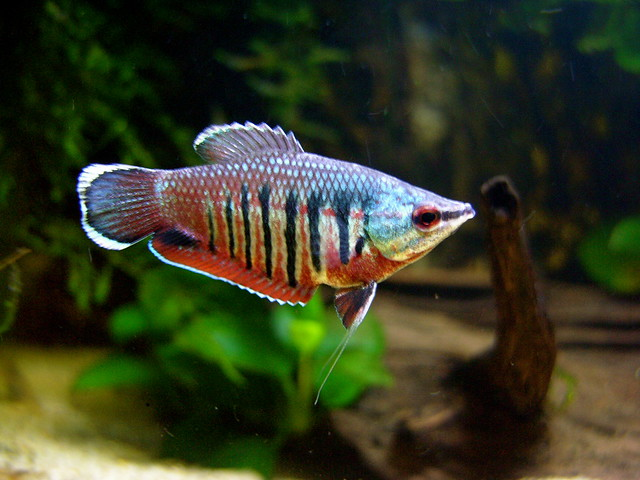 Sphaerichthys vaillanti flickr photo sharing for Semi aggressive fish