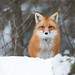 Red Fox by NicoleW0000